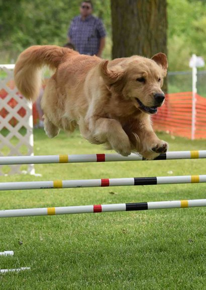 Golden Retriever jumping in agility