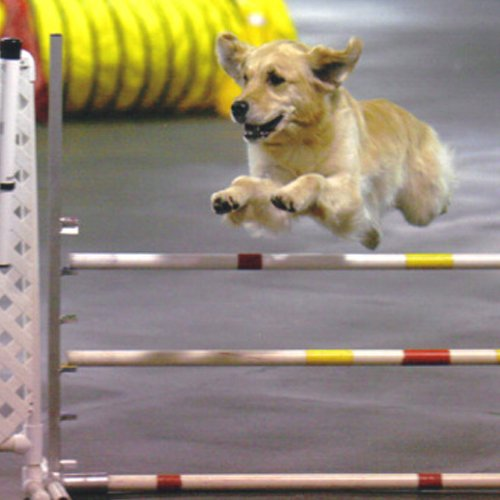 Happy Dog image of Golden Retriever jumping in agility