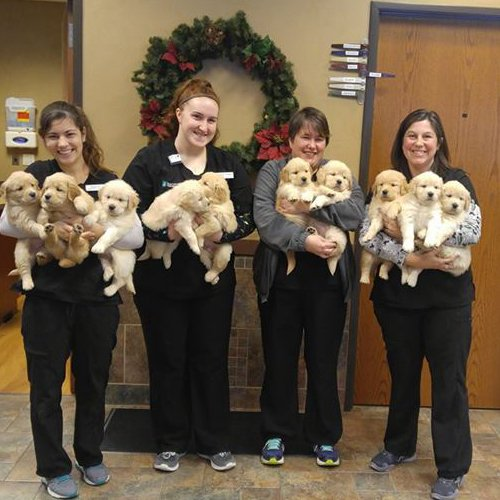 Happy Dog image of 10 baby Golden Retrievers in the arms of 4 people at the vet