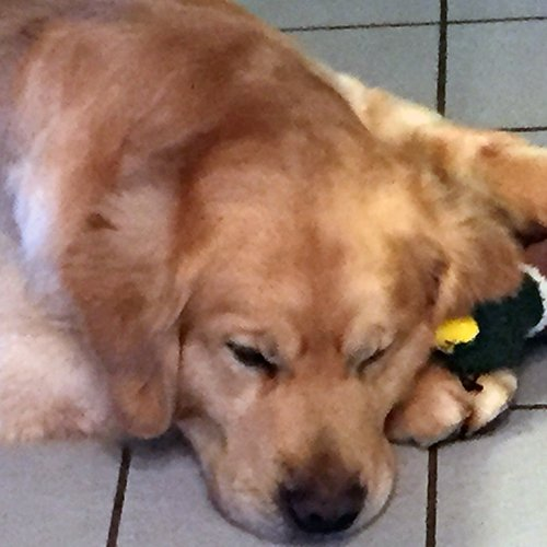 Happy Dog image of Golden Retriever sleeping with him stuffed duck