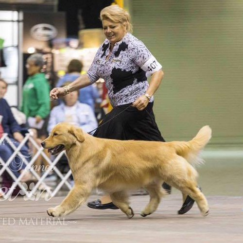 Happy Dog image of Golden Retriever moving at the dog show