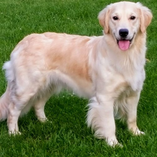 Happy Dog image of smiling Golden Retriever