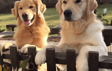 Happy Golden Retrievers