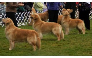 Breed Standard Archives Northern Flyway Golden Retriever Club