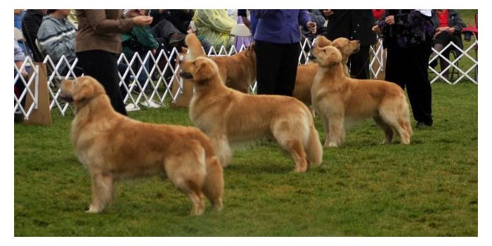 Judging the Golden Retriever Slide 1