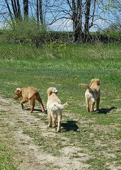 3 Goldens walking together
