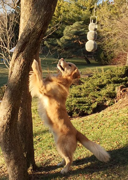 Sidebar photo of Golden Retriever climbing up a tree