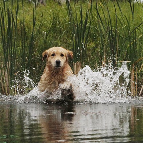 Example of a Golden jumping into the pond